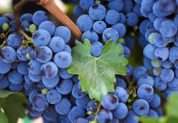 Можно ли есть виногад при хроническом и остром панкреатите?