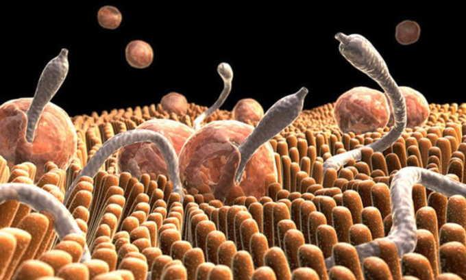 Распространенным фактором провоцирующим жжение в животе являются глистные инвазии