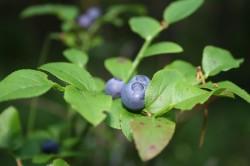 Польза листьев черники для поджелудочной железы
