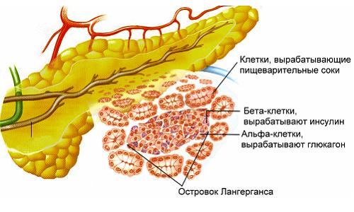 Эндокринная функция железы заключается в выработке островками Лангерганса инсулина, глюкагона, соматостатина и панкреатического полипептида