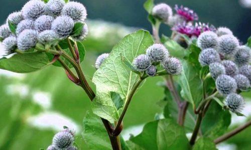 Народные средства можно использовать только в качестве дополнения к медикаментозной терапии. Хороший эффект может дать водный настой сухого корня репейника