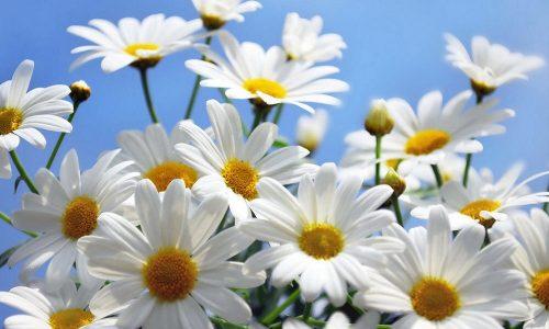 При панкреатите практикуется применение отваров трав (цветков ромашки лекарственной)