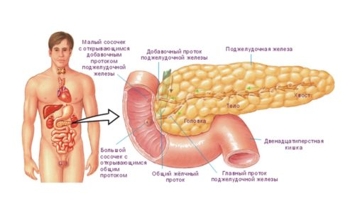 Строение органа позволяет выделить в нем 3 отдела. Самый широкий из них (головка) расположен в изгибе двенадцатиперстной кишки, а равномерно сужающееся тело продолжается влево и вверх