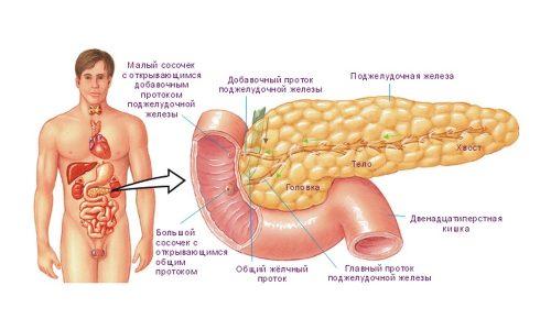 Поджелудочная железа вырабатывает несколько гормонов и больше 20 ферментов, влияющих на жизнедеятельность человека