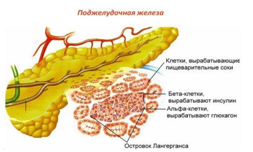 Инсулин синтезируется В-клетками островков Лангерганса и содержит в составе 51 аминокислоту. Благодаря этому компоненту происходит регуляция метаболизма углеводов и уровня глюкозы в организме